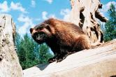 Wolverine GLOTON.JPEG